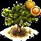Drzewko małpiej pomarańczy.png