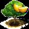 drzewo wampee.png